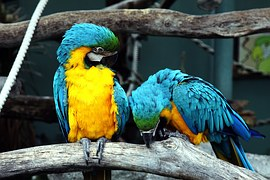blue-and-yellow-macaws-1653192__180